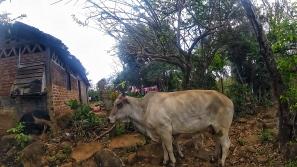 Une des nombreuses vaches croisées sur le parcours.