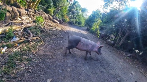 Pig Xing!